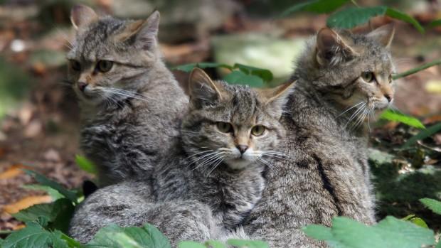 Dauerspende für das Rettungsnetz Wildkatze