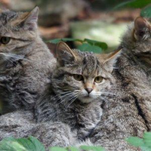 wildkatzenwelpen-felis-silvestris